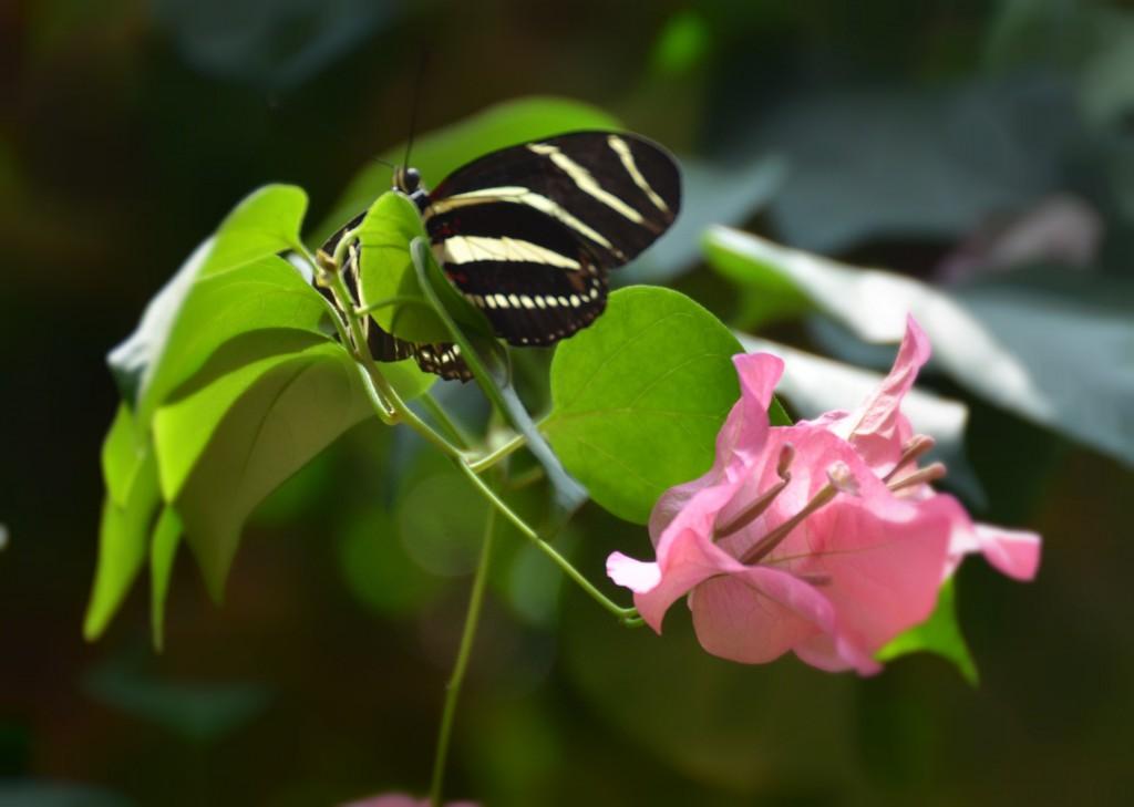 Las mariposas amenazadas